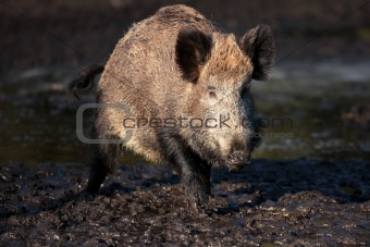 A wild boar came out of the woods.