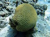 Globular coral