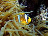 Amphiprion and his anemone