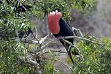 Galapagos Frigate Birds