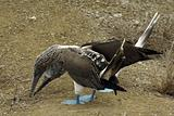 Galapagos Gannets Mating