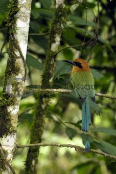 Amazonic tropical bird