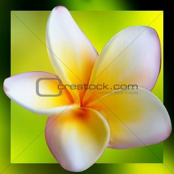 Frangipani Plumeria flower. EPS 8