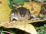 Spadefoot Toad (Scaphiopus holbrookii)