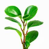 ficus plant closeup