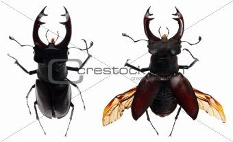 beetle deer