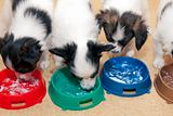 Little Puppies Papillon eating curd