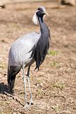 Demoiselle Crane