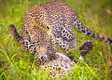 Two Leopards playing in savannah