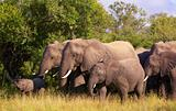 Large herd of elephants