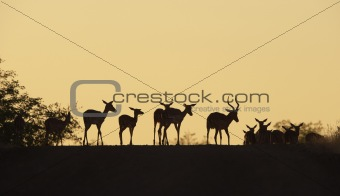 Group of red Impala