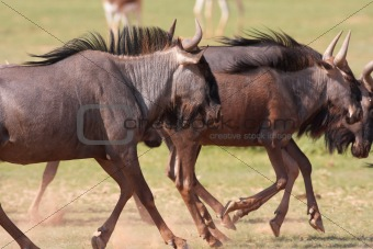 Group of Blue wildebeest (Connochaetes taurinus)
