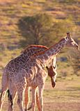 Two giraffe (Giraffa camelopardalis)