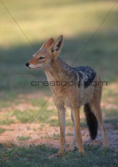 Alert Black-backed Jackal (Canis mesomelas)