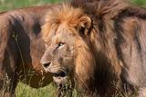 Two Lions (panthera leo) close-up