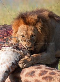 Single Lion (panthera leo) eating in savannah