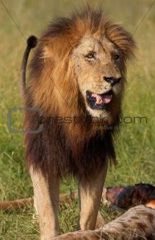 Single lion (panthera leo) in savannah