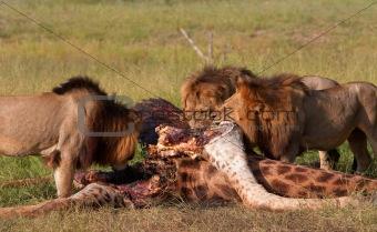 Three Lions (panthera leo) eating in savannah