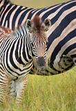 Herd of zebras (African Equids) 