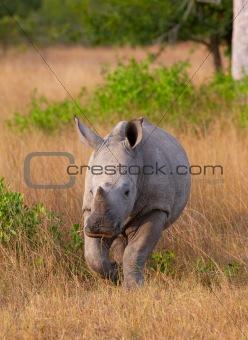 Baby calf white rhinoceros