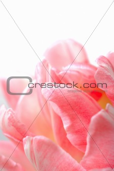 Beautiful floral background with pink tulip over white