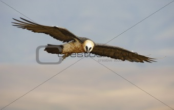 Lammergeyer or Bearded Vulture