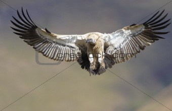 The Cape Griffon Vulture