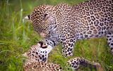 Two leopard playing in savannah