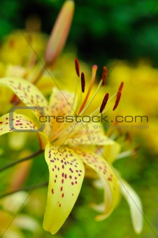 Beautiful yellow lilly flower outdoors. blurred background