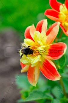 Little bee on beautiful red and yellow flower outdoors