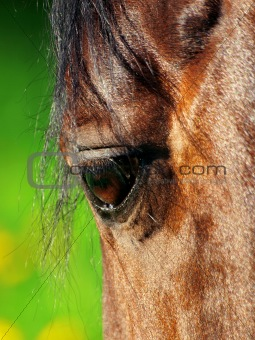 beautiful eye of horse