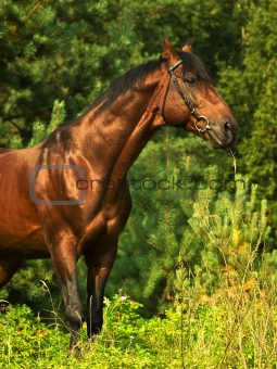 beautiful bay horse