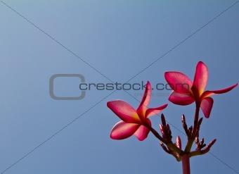 Frangipani flowers close up on blue sky