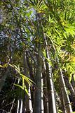 Bamboo tree leave skyward