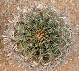 Cactus with sharp needle