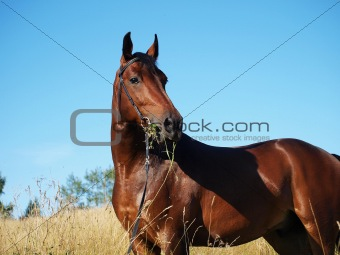 portrait of bay horse