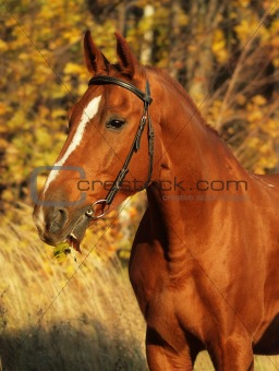 portrait of red horse