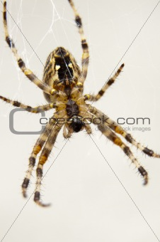 Garden spider on spiderweb