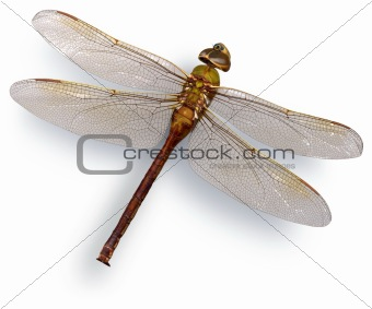 Green dragon fly (Green Darner)