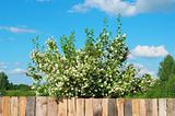 Blossoming spring apple-tree behind a wooden fence