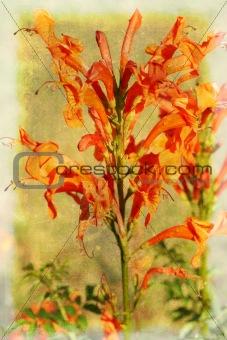 Leonotis flowers (star of the Wild Dagga)