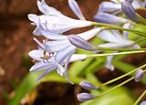 Agapanthus Africanus flowers