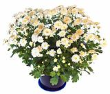 White chrysanthemum in flowerpot