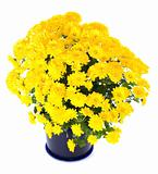 yellow  chrysanthemum in flowerpot