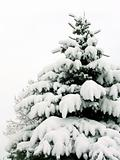 Snow-covered fur-tree