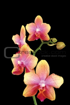 Beautiful yellow orchid isolated on black background
