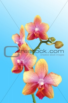 Beautiful yellow orchid over light blue background
