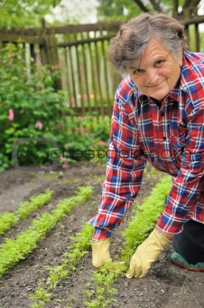 Senior woman gardening - weeding carrot