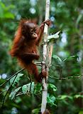Baby orangutan (Pongo pygmaeus).  