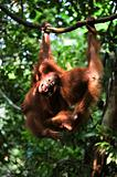 Baby orangutan (Pongo pygmaeus) play.  